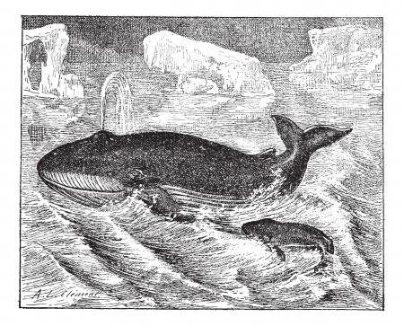 иллюстрация: Кит в океане, старинные гравировкой иллюстрации. Словарь слов и вещей - Larive и Флери - 1895. Иллюстрация