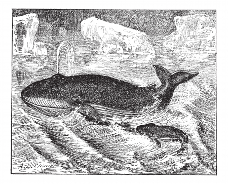 cetacea: Whale in ocean, vintage engraved illustration. Dictionary of words and things - Larive and Fleury - 1895.