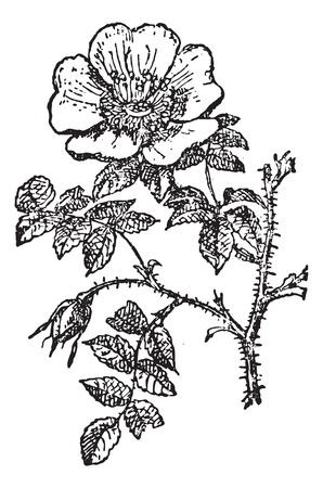 Camellia Japonica, O Rosa De Invierno O El Grabado Theaceae De La ...