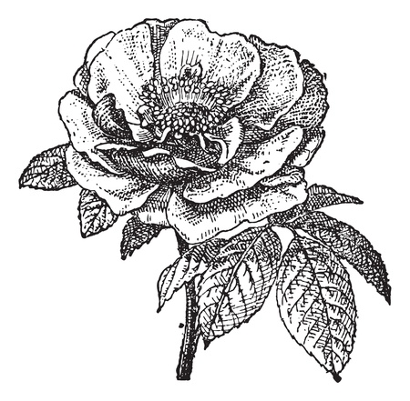 rose: Rose of Provins, vintage engraved illustration. Dictionary of words and things - Larive and Fleury - 1895.