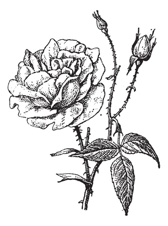 rose stem: Rose of Bengal, vintage engraved illustration. Dictionary of words and things - Larive and Fleury - 1895. Illustration