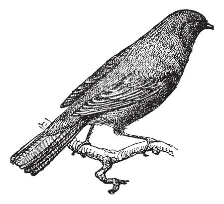 ruiseñor: Nightingale Nightingale o Rufo o común posado en rama, cosecha ilustración grabada. Diccionario de palabras y las cosas - Larive y Fleury - 1895.