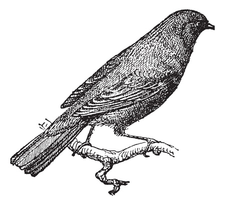 insectivorous: Nightingale or Rufous or Common Nightingale perched on branch, vintage engraved illustration. Dictionary of words and things - Larive and Fleury - 1895.