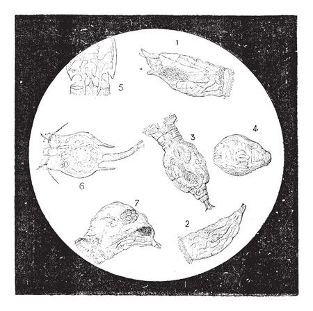 ワムシや輪毛虫類またはホイールの動物、ビンテージ図は刻まれています。辞書の単語との事 - Larive、フルーリ - 1895年。