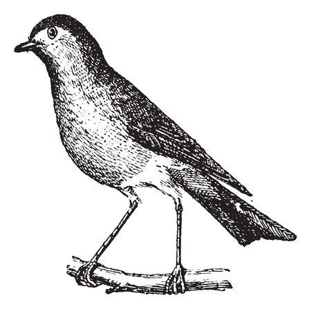ancient bird: Robin perched on branch, vintage engraved illustration. Dictionary of words and things - Larive and Fleury - 1895.