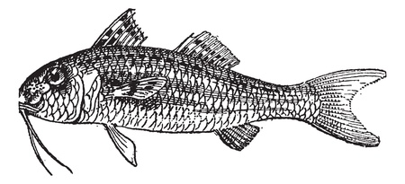 Red Mullet or Surmullet isolated on white background, vintage engraved illustration. Dictionary of words and things - Larive and Fleury - 1895. Vector