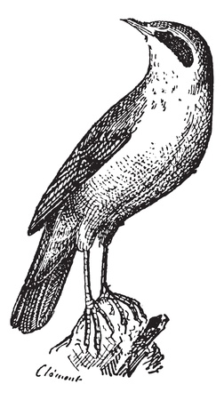 Warbler perched on rock, vintage engraved illustration. Dictionary of words and things - Larive and Fleury - 1895.