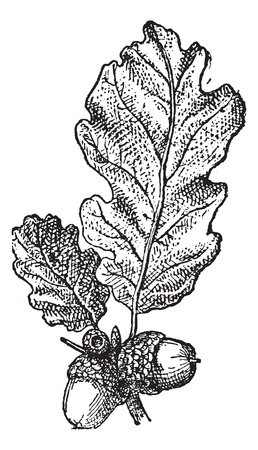 oak leaves: Acorn or Oak nut with leaves, vintage engraved illustration. Dictionary of words and things - Larive and Fleury - 1895.