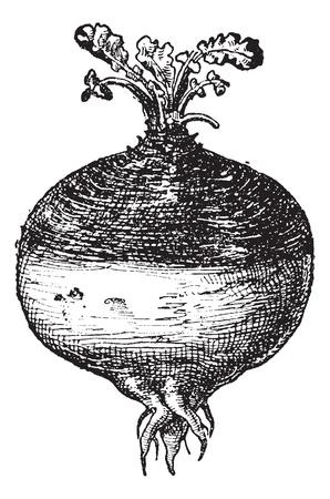 rzepa: Brukiew lub Szwed (szwedzka rzepa) lub rzepa lub żółta rzepa (Brassica napobrassica), vintage grawerowane ilustracji. Słownik słów i rzeczy - Larive i Fleury - 1895.
