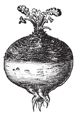 brassica: Rutabaga or Swede (Swedish turnip) or turnip or yellow turnip (Brassica napobrassica), vintage engraved illustration. Dictionary of words and things - Larive and Fleury - 1895.