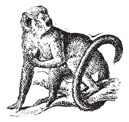 squirrel monkey: Squirrel monkey or Saimiri, vintage engraved illustration. Dictionary of words and things - Larive and Fleury - 1895.
