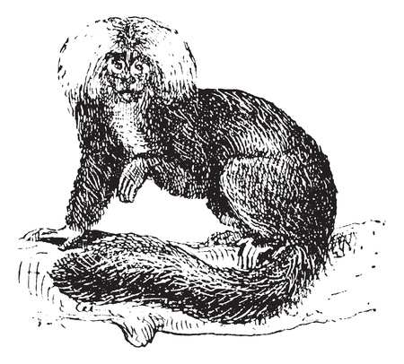 saki: Sakis or Saki monkey, vintage engraved illustration. Dictionary of words and things - Larive and Fleury - 1895.