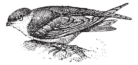insectivores: Swiftlet, vintage engraved illustration. Dictionary of words and things - Larive and Fleury - 1895.