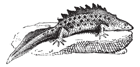 amphibious: Salamander, vintage engraved illustration. Dictionary of words and things - Larive and Fleury - 1895.