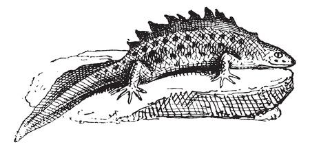 salamandre: Salamandre, millésime gravé illustration. Dictionnaire des mots et des choses - Larive et Fleury - 1895.