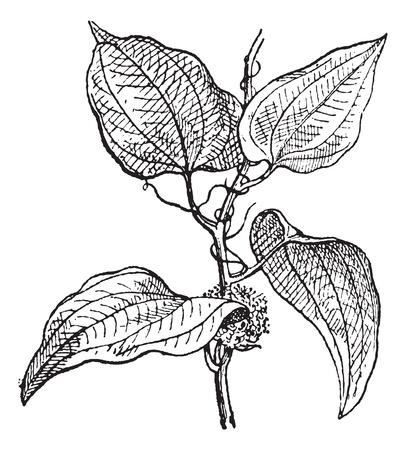 jamaican: Smilax regelii o zarzaparrilla o la zarzaparrilla de Jamaica, cosecha ilustraci�n grabada. Diccionario de palabras y las cosas - Larive y Fleury - 1895.