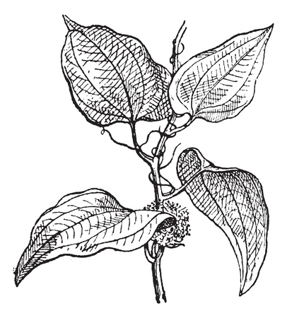 etching pattern: Smilax regelii or Sarsaparilla or Jamaican sarsaparilla, vintage engraved illustration. Dictionary of words and things - Larive and Fleury - 1895.