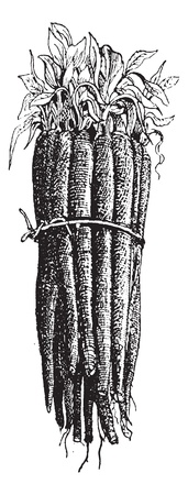 Black Salsify or Scorzonera hispanica or Spanish salsify or black oyster plant or serpent root or vipers herb or vipers grass or Scorzonera, vintage engraved illustration. Dictionary of words and things - Larive and Fleury - 1895.  Vector