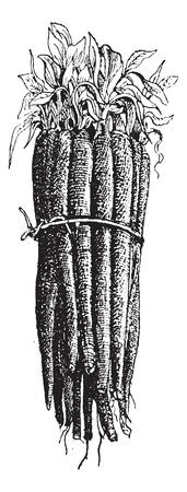 Schwarzwurzel oder Scorzonera hispanica oder Spanisch Schwarzwurzeln oder Black Oyster-Anlage oder Schlange Wurzel oder Kraut oder Viper Viper Gras oder Schwarzwurzeln, Jahrgang gravierte Darstellung. Wörterbuch der Wörter und Dinge - Larive und Fleury - 1895. Standard-Bild - 13766859