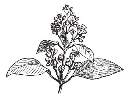 Sandalwood leaves and buds, vintage engraved illustration. Dictionary of words and things - Larive and Fleury - 1895. Vector