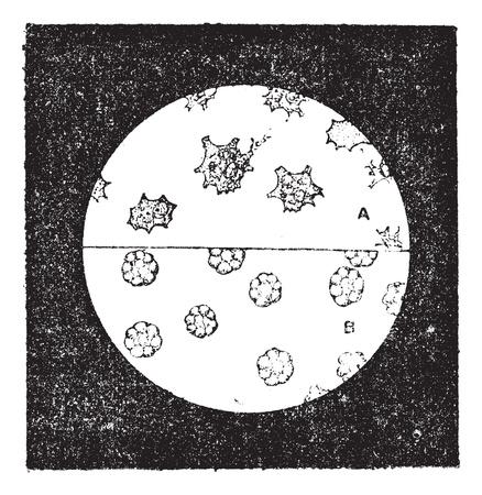 cozza: Fig. 6. A. cellule incolori della cozza. B. Le cellule ematiche di lumaca, illustrazione d'epoca inciso. Dizionario di parole e cose - Larive e Fleury - 1895.