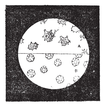 Fig. 6. A. Colorless cells of the mussel. B. Blood cells of slug, vintage engraved illustration. Dictionary of words and things - Larive and Fleury - 1895. Ilustração