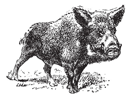 Boar or wild pig, vintage engraved illustration. Dictionary of words and things - Larive and Fleury - 1895. Vector