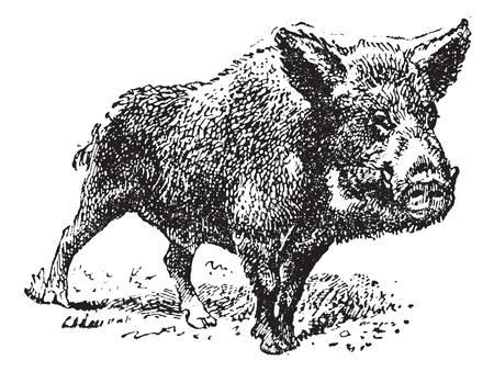 jabali: De cerdo jabal� o silvestres, cosecha ilustraci�n grabada. Diccionario de palabras y las cosas - Larive y Fleury - 1895. Vectores