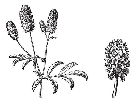 rosaceae: Burnet twig, Burnet flower, vintage engraved illustration. Dictionary of words and things - Larive and Fleury - 1895. Illustration