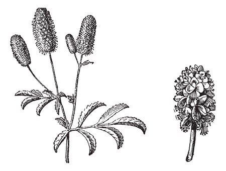 Burnet twig, Burnet flower, vintage engraved illustration. Dictionary of words and things - Larive and Fleury - 1895. Illusztráció