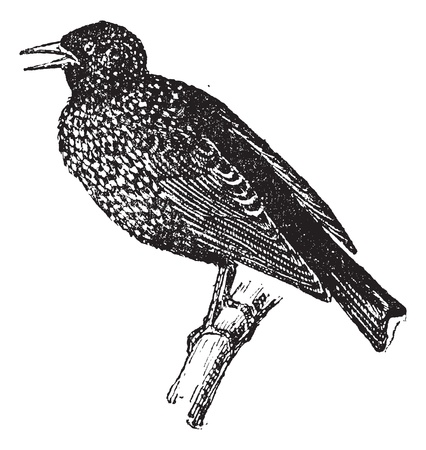 passerine: Starling, vintage engraved illustration. Dictionary of words and things - Larive and Fleury - 1895. Illustration