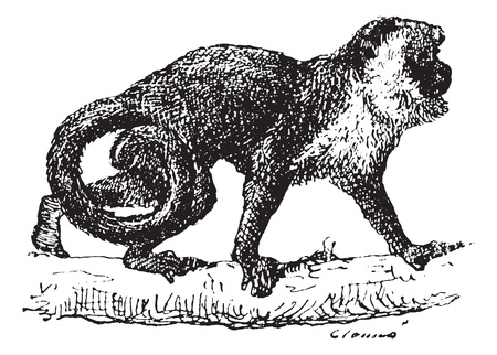 terrestrial mammals: Old engraved illustration of Monkey on the tree branch. Dictionary of words and things - Larive and Fleury ? 1895 Illustration