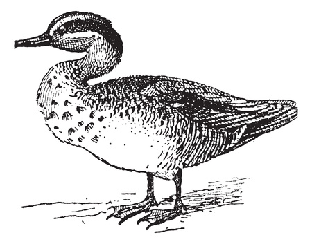 Old engraved illustration of Common Teal or Anas crecca or Eurasian Teal or The teal. Dictionary of words and things - Larive and Fleury ? 1895 Stock Vector - 13766496