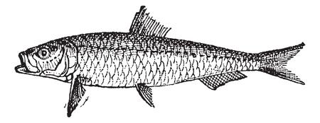 sardine: Old gravierte Darstellung Sardine oder Sardinen isoliert auf einem wei�en Hintergrund. W�rterbuch von W�rtern und Dingen - Larive und Fleury? 1895