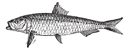 Old engraved illustration of Sardine or Pilchard isolated on a white background. Dictionary of words and things - Larive and Fleury ? 1895 Vettoriali