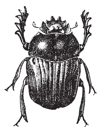 beetle: Beetle isolated on white, vintage engraved illustration. Dictionary of words and things - Larive and Fleury - 1895.
