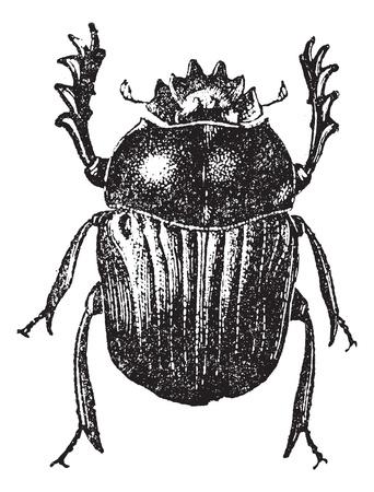 escarabajo: Escarabajo aislado en blanco, cosecha ilustraci�n grabada. Diccionario de palabras y las cosas - Larive y Fleury - 1895. Vectores