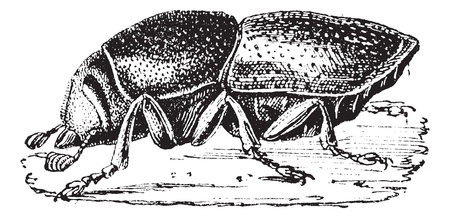 destructive: Destructive or Dark flour beetle (Tribolium destructor), vintage engraved illustration. Dictionary of words and things - Larive and Fleury - 1895.