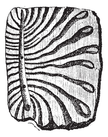 Beetle, tunnels excavated by bark beetles with larvae, vintage engraved illustration. Dictionary of words and things - Larive and Fleury - 1895.