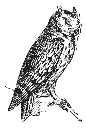 plumage: Scops owl perched on branch, vintage engraved illustration. Dictionary of words and things - Larive and Fleury - 1895.