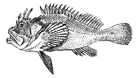 stonefish: Rockfish or Stonefish, vintage engraved illustration. Dictionary of words and things - Larive and Fleury - 1895.  Illustration