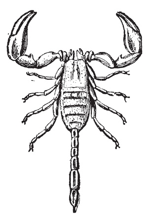 etymology: Scorpion isolated on white, vintage engraved illustration. Dictionary of words and things - Larive and Fleury - 1895. Illustration