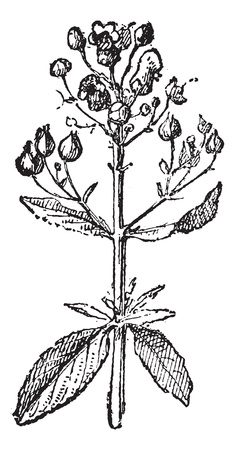 herbaceous: Figwort or Scrophularia, vintage engraved illustration. Dictionary of words and things - Larive and Fleury - 1895.