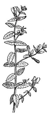 Skullcap of Scutellaria, vintage engraved illustration. Dictionary of words and things - Larive and Fleury - 1895. Vector