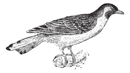 Old engraved illustration of Greater Honeyguide or Indicator indicator waiting on a branch. Dictionary of words and things - Larive and Fleury ? 1895 Stock Vector - 13766653