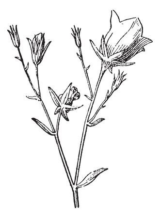 Old engraved illustration of Campanula or bellflower or Brachycodon or Diosphaera or Rapuntia or Rapuntium or Rotantha or Symphiandra or Tracheliopsis isolated on a white background. Dictionary of words and things - Larive and Fleury ? 1895 Stock Vector - 13766322