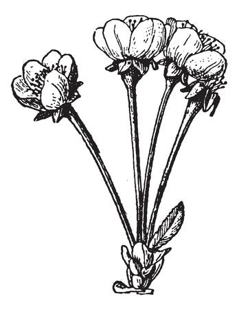 agrio: Ilustraci�n del Antiguo grabado de Prunus cerasus o de la cereza agria aislado en un fondo blanco. Diccionario de palabras y las cosas - Larive y Fleury? 1895