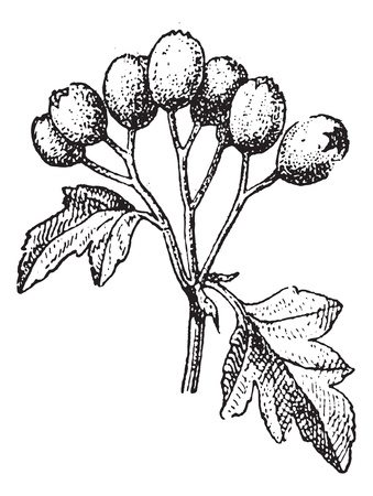 Old engraved illustration of Common hawthorn or Crataegus monogyna or single-seeded hawthorn or may or mayblossom or maythorn or quickthorn or whitethorn or motherdie or haw isolated on a white background. Dictionary of words and things - Larive and Fleur Stock Vector - 13766432