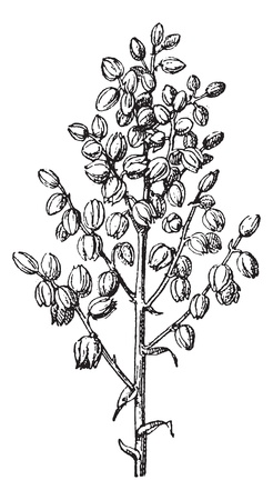chaparral: Old engraved illustration of chaparral yucca or common yucca or Hesperoyucca whipplei or Yucca whipplei or our Lords candle or Spanish bayonet or Quixote yucca or foothill yucca isolated on a white background. Dictionary of words and things - Larive and