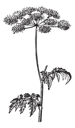 Old engraved illustration of Chaerophyllum temulum or Rough Chervil isolated on a white background. Dictionary of words and things - Larive and Fleury ? 1895 Иллюстрация